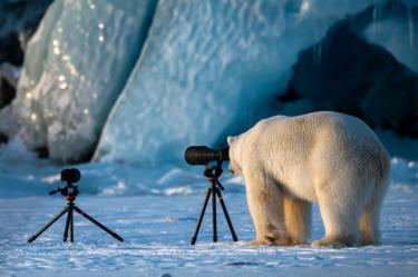 Beruang kutub menatap kamera dengan tripod