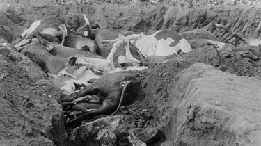 Des bœufs morts, certains partiellement enterrés, dont on pense qu'ils sont morts de la peste bovine