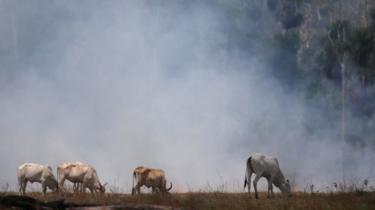 Três bois no pasto, com fumaça atrás