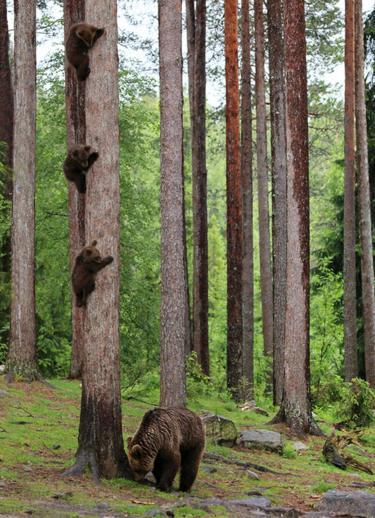 Tiga ekor anak beruang