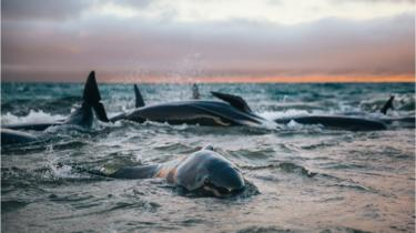 Whales stranded in the surf