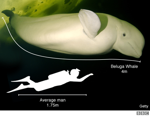 Infographic comparing size of man to beluga whale