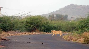 A lion strays in Liliadhar village, 125km from Gir forest
