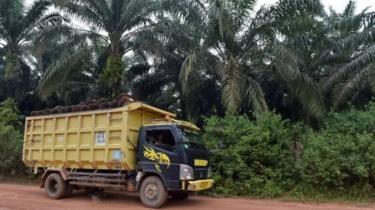minyak kelapa sawit, iceland, orangutan
