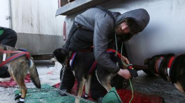 A musher preparing his dogs
