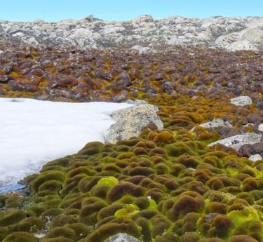 Moss beds near Casey Station in East Antarctica (c) University of Wollongong