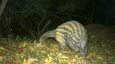 The giant pangolin: The largest of the eight pangolin species