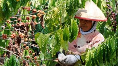 A worker picks coffee cherries from a coffee plant