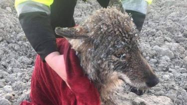 This photo shows the wolf with ice frozen all over its fur in an outdoor setting, having just been pulled from the river - a human's hands can be seen wrapping it in a towel