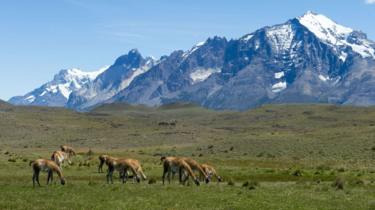 A group of guanacos (Lama guanicoe) grazing in Torres del Paine National Park in southern Chile