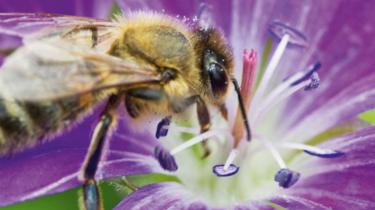 A honey bee gathering nectar from a purple flower