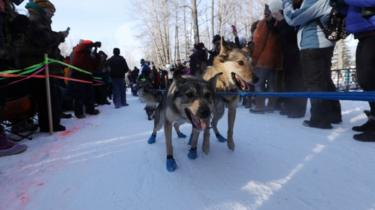 Dogs working hard to race on the snow