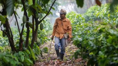 Farmer in a Nicaraguan coffee crop