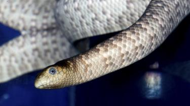 The Australian Olive sea snake species