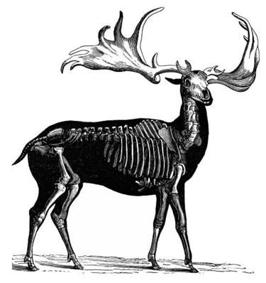 Rusa besar dalam ilustrasi kuno ini tampak serupa dengan rusa biasa, tapi ukurannya lebih besar.