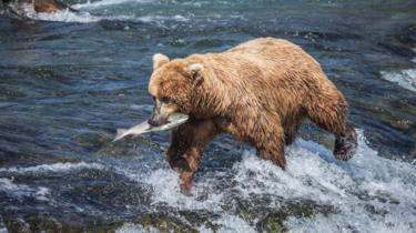 A bear hunts with a salmon in its mouth