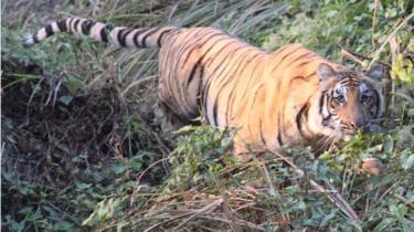 चितवन राष्ट्रिय निकुञ्जमा सन् २०१६ ज्यानअरीमा देखिएको बाघ