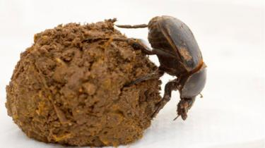 A dung beetle (Scarabaeus Satyrus) crawls over a ball of mud