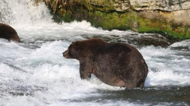 Bear 747 stands in river, with large stomach protruding
