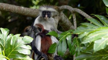 Red Colobus Zanzibar, salah satu primata paling langka di Afrika.