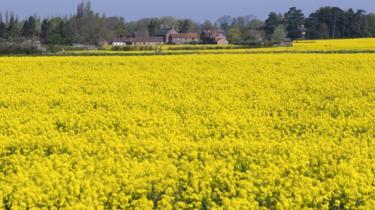 A rapeseed field near Skirpenbeck in Yorkshire