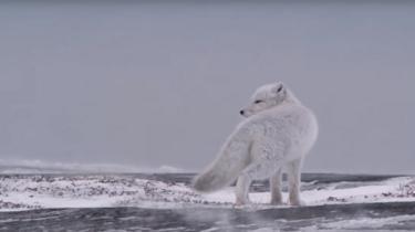 خز ضخیم بدن روباهها محافظی عالی در برابر شرایط آبوهوایی است