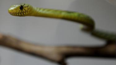 Venomous green mamba snake (file picture)