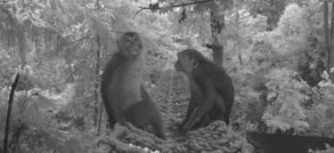 Macaques using the rope bridge