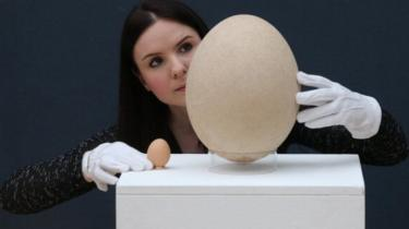 Fossilised elephant bird egg next to a chicken's egg