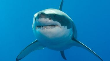 A great white shark off the Neptune Islands, Australia
