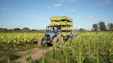 Workers harvest tobacco at a farm outside Harare, Zimbabwe, in 2019