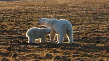 The mother of the dead polar bear and her cub