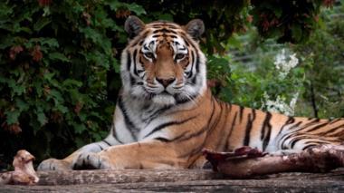 A Siberian tiger at an enclosure