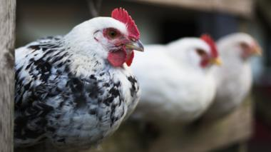 Hens. File photo