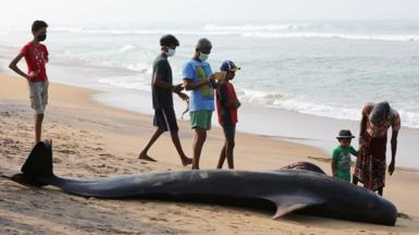 Short-finned pilot whales stranded on Sri Lankan coast