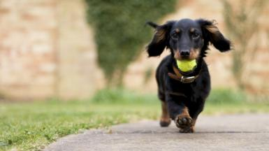Dachshund puppy running with tennis ball