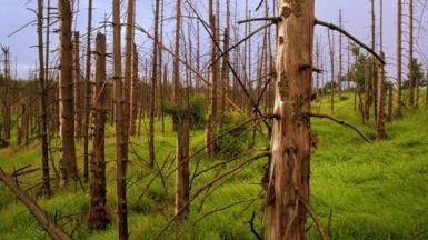 Dead trees caused by acid rain