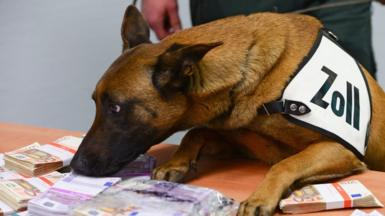 Aki, a cash-sniffing dog from the airport customs office, tackles seized euro banknotes during the balance sheet press conference for the Frankfurt Airport central customs office in Frankfurt am Main, Germany, 13 March 2015.