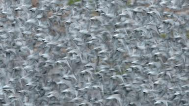 Knot in flight at RSPB Snettisham