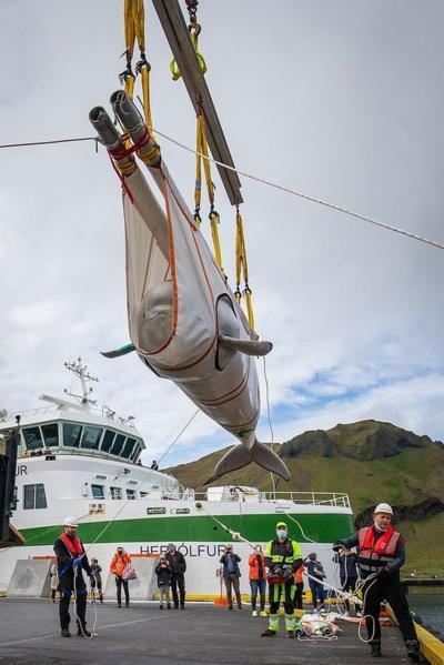 Two beluga whales taken to sea sanctuary in Iceland - CBBC Newsround