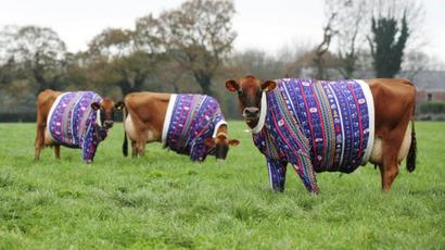 Jersey Cows Model Matching Christmas Jumpers Bbc News