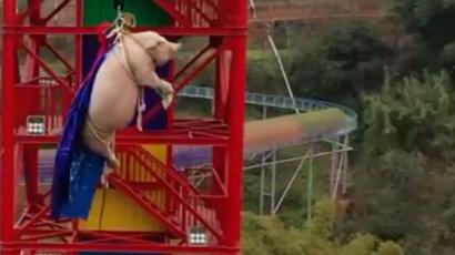 Image result for pig bungee jump china