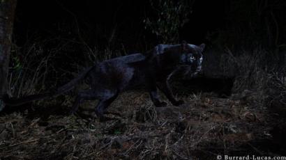 Detallado Dormitorio bosque  Pantera Negra Puma Animal Neagra