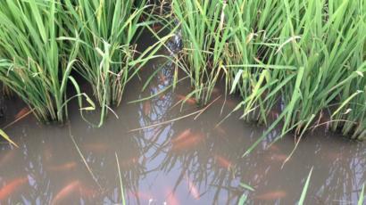 Pertanian Dan Budidaya Ikan Mina Padi Satu Hektar Lahan