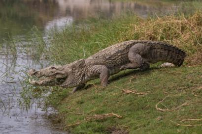 The Indians sharing their villages with crocodiles - BBC News