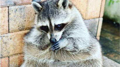 Most por raccoon on Instagram dies - BBC News Raccoon Under Mobile Home on retirement home, websites for iowa modular home, sheetrock installation home,