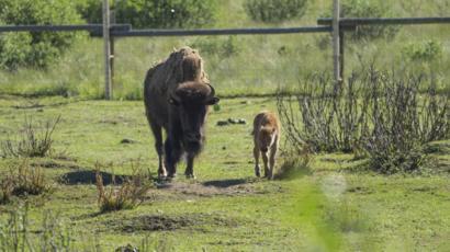 102677760 dsc02756 c - 【カナダ】バンフ国立公園でバイソンの赤ちゃん 約140年ぶり