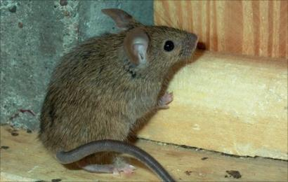 Concern over mice infestation in west Belfast flats - BBC News