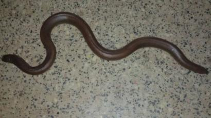 Indian 'two-headed snake' rescued by police from gang - BBC News
