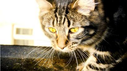 коронавирус у кошек боли